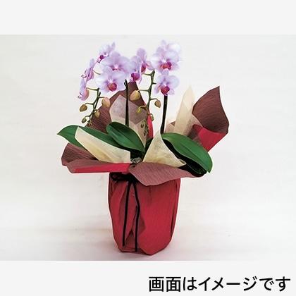 ミディ胡蝶蘭2F(ピンク系)