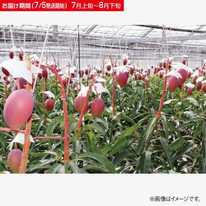 沖縄産完熟アップルマンゴー 2kg