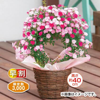 ミニつるバラ「舞姫×琴姫」リング仕立て