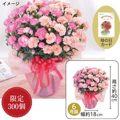 特大鉢・2色咲きカーネーション「エクレア」